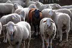 Die Sache mit den schwarzen Schafen