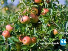 Apfel-Annahmestelle bei Bauernhof Rauch